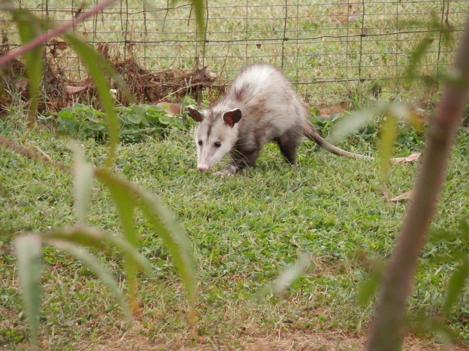 10-Common-Homestead-Predators-–-And-What-You-Can-Do-About-Them-Opossum