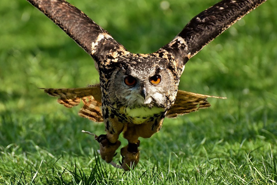 10-Common-Homestead-Predators-–-And-What-You-Can-Do-About-Them-Owl