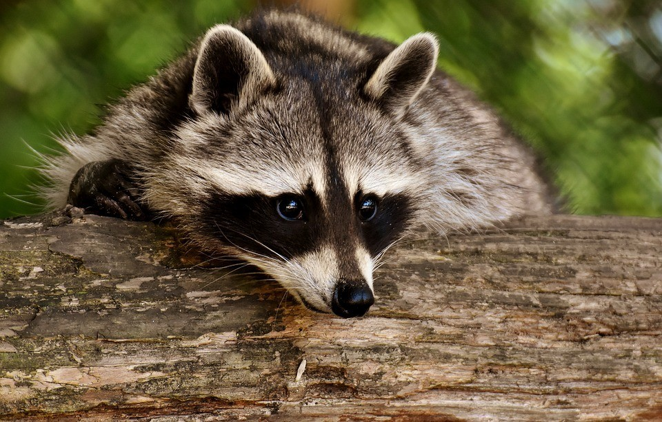 10-Common-Homestead-Predators-–-And-What-You-Can-Do-About-Them-Raccoon