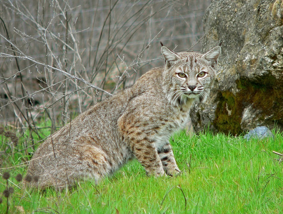 10-Common-Homestead-Predators-–-And-What-You-Can-Do-About-Them-Bobcat