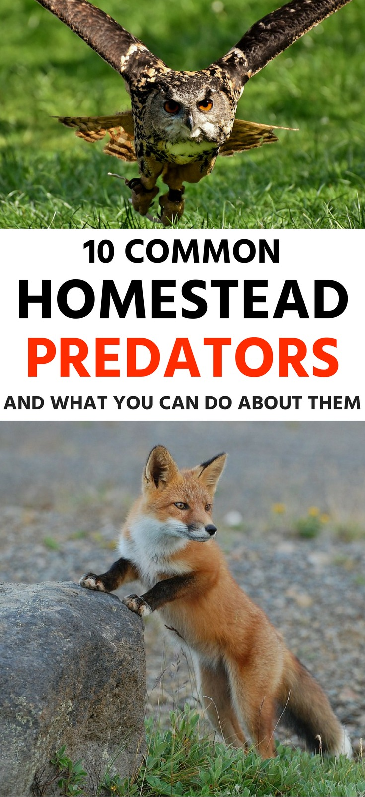 10-Common-Homestead-Predators