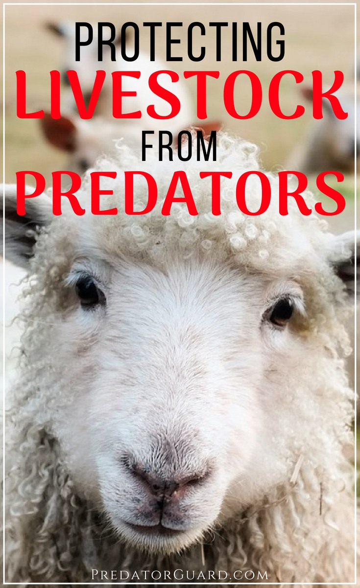 Protecting-Livestock-From-Predators-Wolves-and-Coyotes