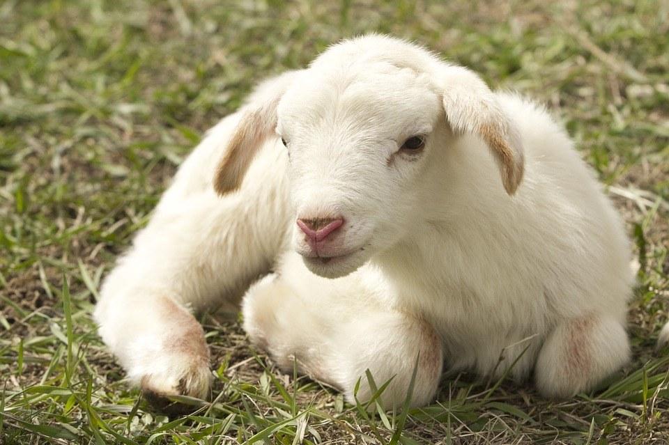 Protecting-Livestock-From-Predators-Lamb