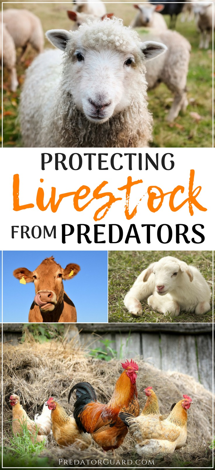 Protecting-Livestock-From-Predators