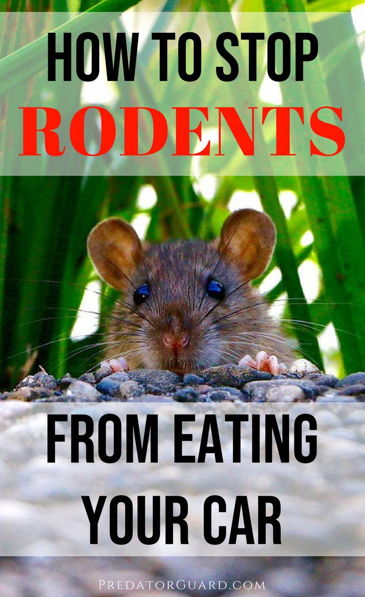 How-To-Stop-Rats-Mice-And-Other-Rodents-Eating-Car-Wiring-1
