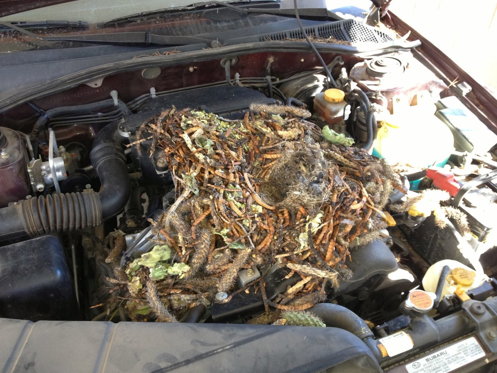 How-To-Stop-Rats-Mice-And-Other-Rodents-Eating-Car-Wiring-Nest-in-Car
