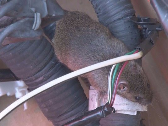How-To-Stop-Rats-Mice-and-Other-Rodents-Eating-Car-Wiring-Rat