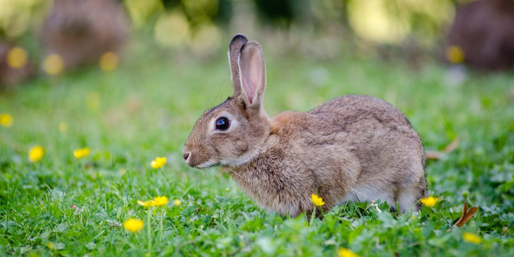 Keeping-Pest-Animals-Out-Of-Your-Garden-Rabbits-1020x510