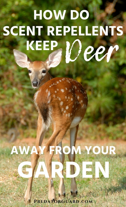 How-Do-Scent-Repellents-Keep-Deer-Away-From-Your-Garden-440x720