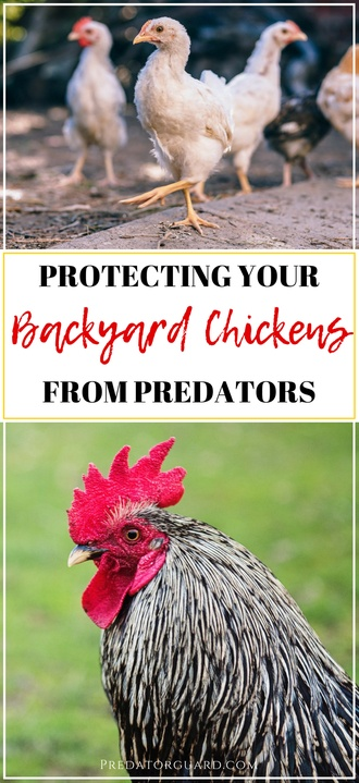 How-To-Protect-Your-Backyard-Chickens-From-Predators-4-330x720