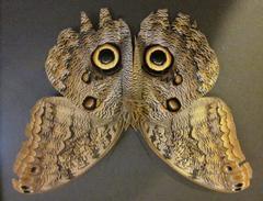 owl_butterfly_medium