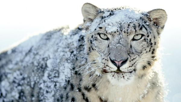 snow-leopard_grande