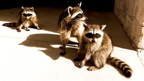 sepia-raccoons_large480