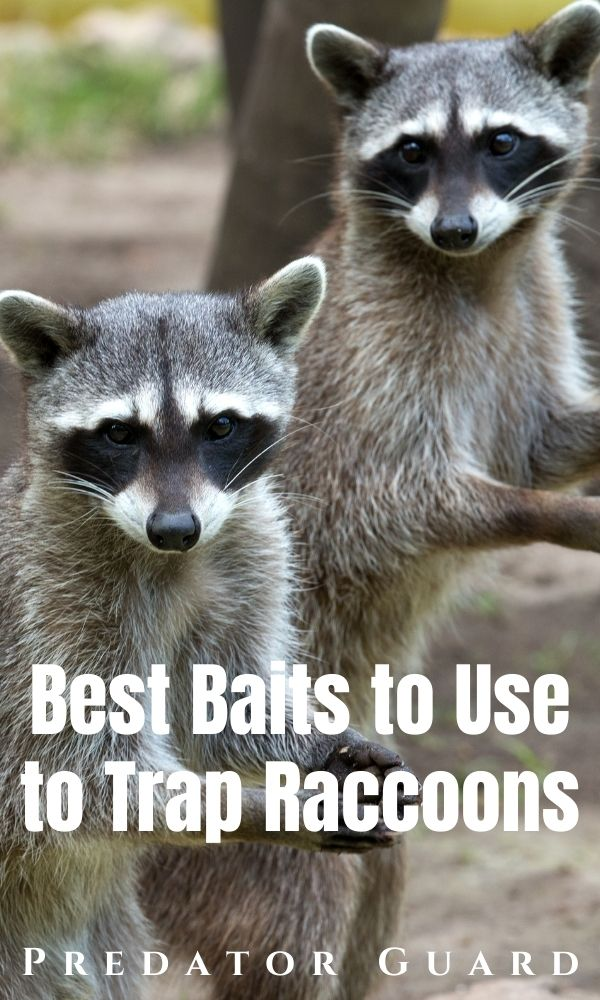 Best Raccoon Bait for Traps_ What to Use to Trap Raccoons